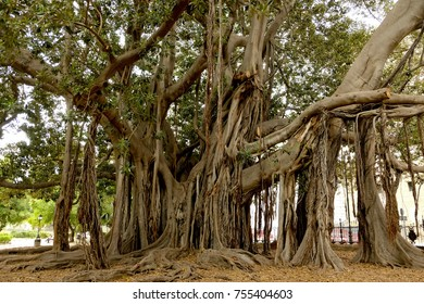 A very giant tree, Ficus Macrophylla, at Botanical Garden in Palermo, Sicily, Italy