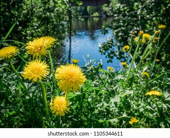 Very green forest with lake in background. Yellow coltsfoot flowers in foreground. Summer and vibrant day in Sweden.