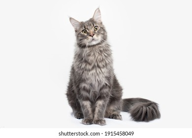 Very handsome young bicolor ticked Maine Coon cat, sitting straight. Looking annoyed to camera with green eyes. Isolated on white background.
