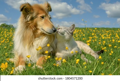 A very happy couple a Collie dog and a white tabby cat are sitting in a field among yellow buttercups