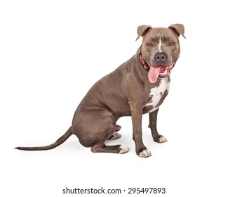 A very happy looking Staffordshire Bull Terrier With Tongue Hanging Out Of his Mouth