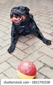 Very happy Staffordshire Bull Terrier with is mouth wide open lying on paving stones with a plastic ball infront of him. Taken on 35mm film.