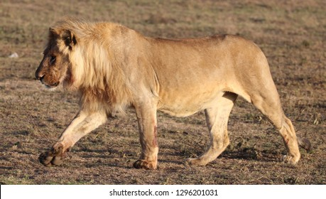 Very healthy young adult male lion