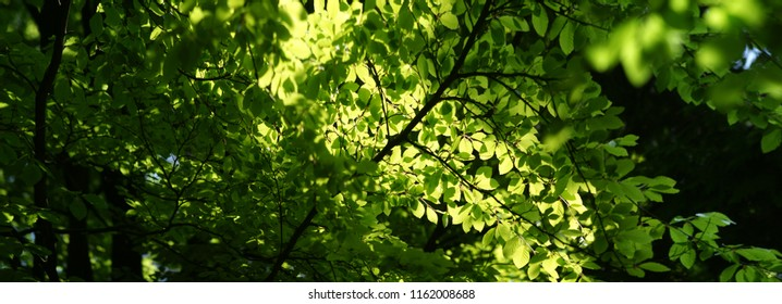 Very High resolution image of fresh foliage in spring catching sunlight