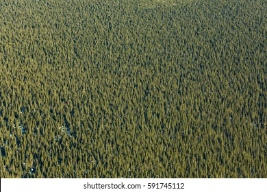 Very Hight View of Boreal Forest of Spruce Texture in Quebec Canada