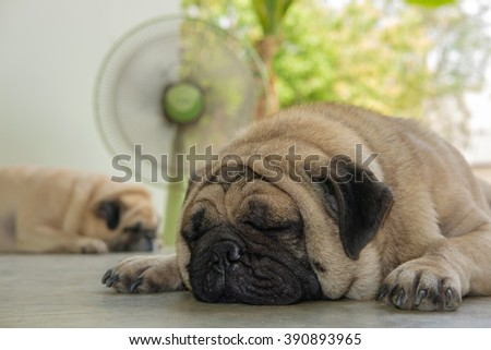 I am very hot. (Fawn pug dog sleeping in front green fan on concrete floor in very hot day.)