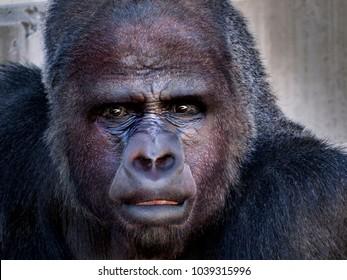 Very Human Looking Gorilla (Gorilla beringei)