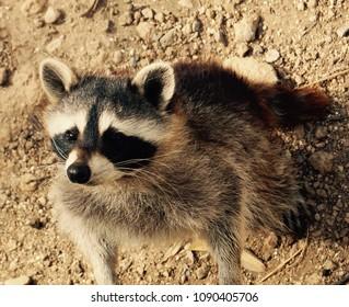 Very Inquisitive Raccoon