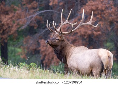 A very large bull elk standing over the edge of a hill in front of beetle killed pine trees
