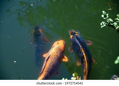 Very large Coy Fish in a pond in the Japanese Gardens