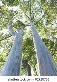 Very large eucalyptus