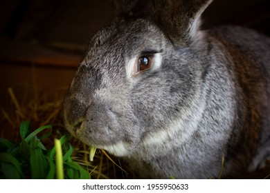 A very large gray rabbit that eats grass. Pet, rabbit sits in a cage with sad eyes.