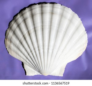 Very large 'Great Scallop' shell from Masirah Island, , Indian Ocean on cobalt blue background.