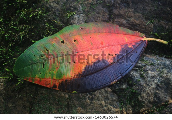 A very large leaf with red,green and black autumn colours