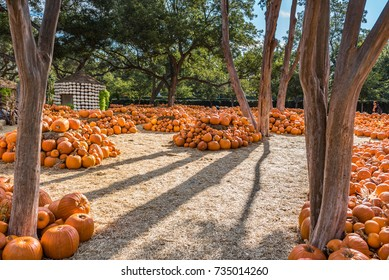 Very large pumpkin patch with mounds of pumpkins and a small hut outlined with white pumpkins in the background