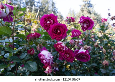 Very large Rose Garden in Portland, Oregon