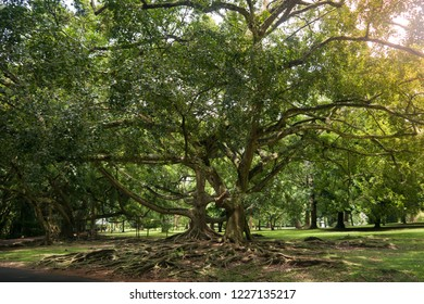 Very large spreading tree in Asia.