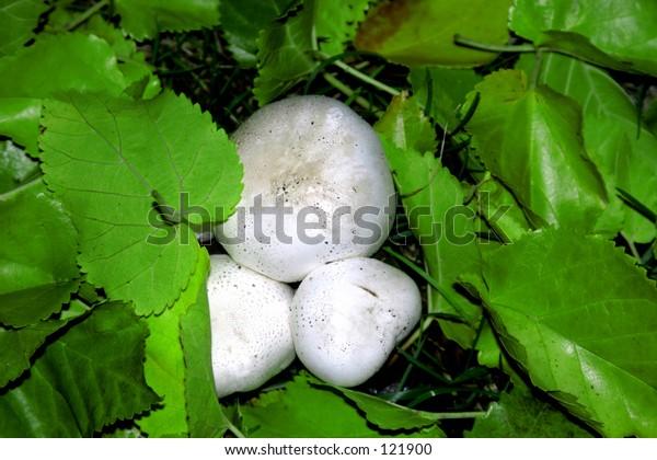 Very large wild mushrooms in leaves.