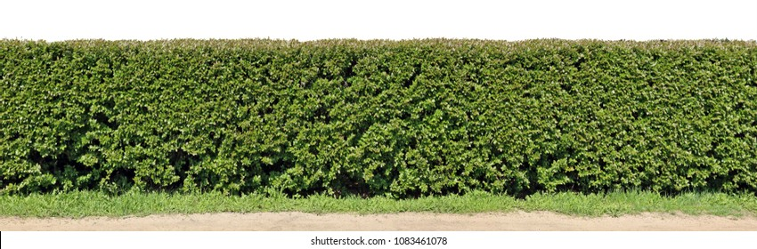 A very long hedge of cut decorative bush. Isolated on top high resolution panoramic collage from several photos. Sunny spring day landscape.