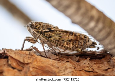 Very loud Cicada in the South of France