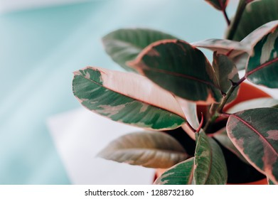 Very loved and popular among gardeners a variety of varieties of ficus. Ficuses have long settled in apartments, greenhouses, offices, shops.