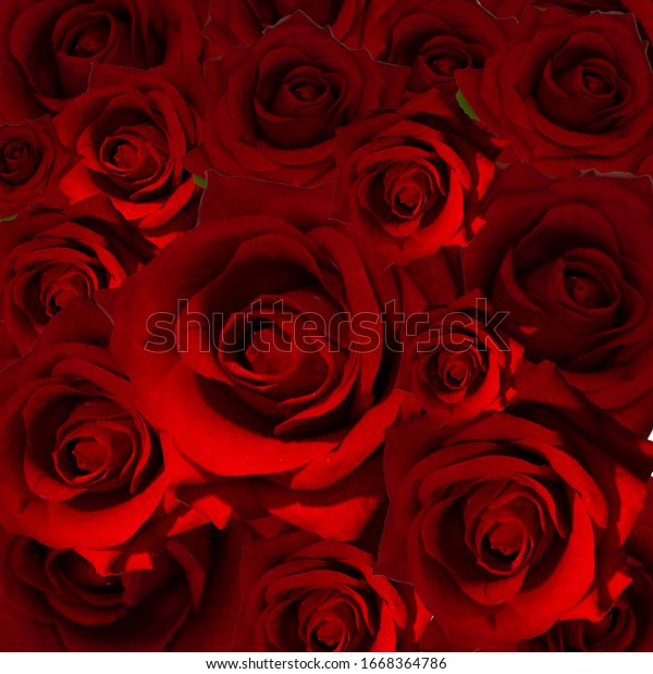Very many roses on the dark background