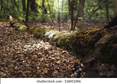A very moody picture of dead birch log lying in the woods with beautiful sunlight shining through the trees