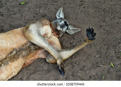 Very muscular wild red kangaroo lying with hand up on the ground in Queensland, Australia