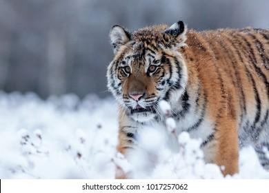 very nice and close Siberian tiger