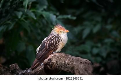 Very nice cuckoo guira sitting on branch, the best photo