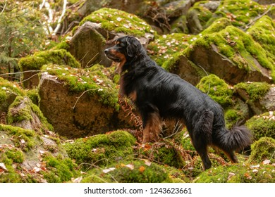 very nice dog hovawart on rocks with mosse