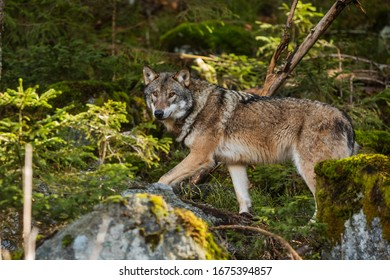 very nice gray wolf (Canis lupus) passes through the forest