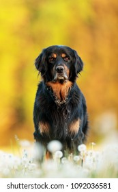 very nice picture Dog hovawart with field of full dandelions
