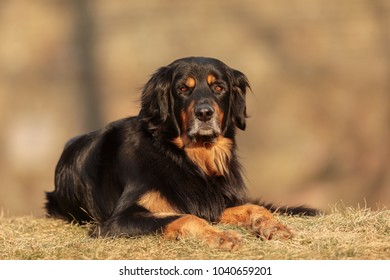 very nice portrait of dog hovawart