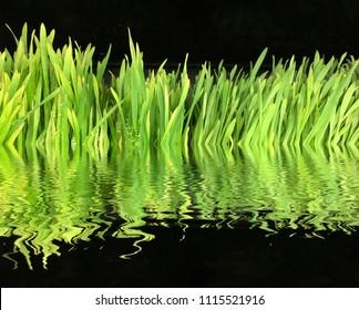 Very Nice reflection Shot in Water of fresh Wheatgrass