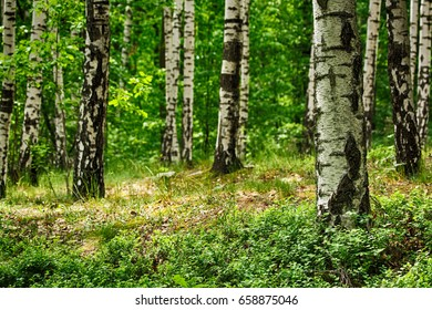 very nice spring forest with nice trees