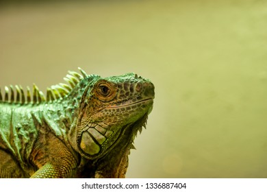 very nice view of iguana