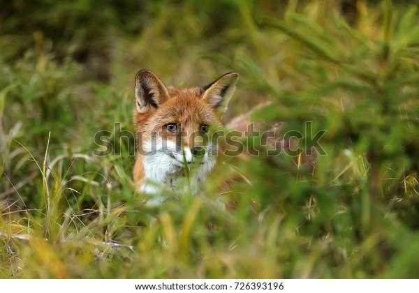 very nice wild red fox close up