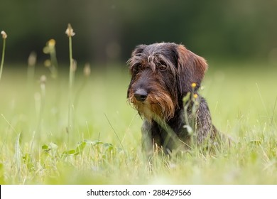 very nice a wire-haired dachshund