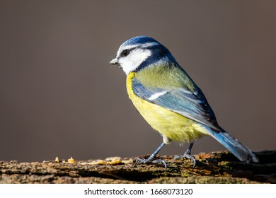 Very nicely lit image of a blue tit