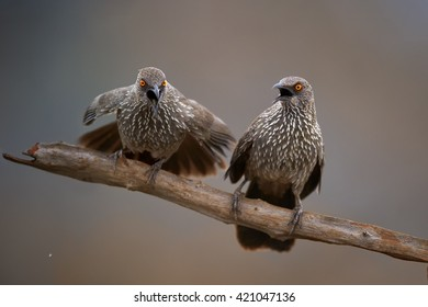Very noisy african bird with distinctly orange eye,  Arrow-marked babbler, Turdoides jardineii. Isolated pair perched on branch, shouting to the others against abstract background. South Africa.