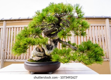 Very old Bonsai Tree in Japan at Omiya bonsai village, Saitama, Japan.