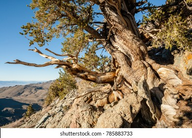 Very Old Bristlecone Pines at Bristlecone Pine Forest near Bishop, CA, USA