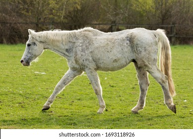 Very old horse, white horse, goes to the paddock