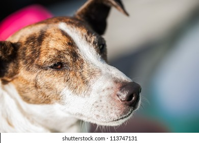 A very old jack russel dog on the street.