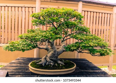 Very old Japanese Maple Bonsai Tree in Japan at Omiya bonsai village, Saitama, Japan.