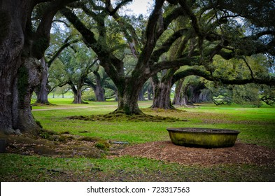 Very old live oaks with Spanish moss and a sugar cane vat in Louisiana.
