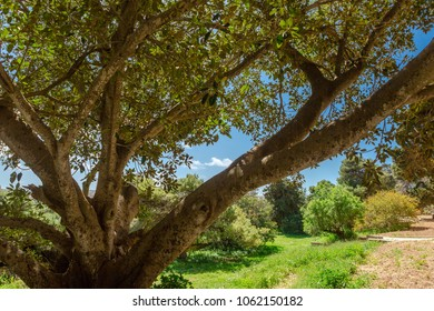Very old and mature Ficus tree in Mtarfa Malta