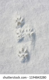very old trace of black mink on the snow