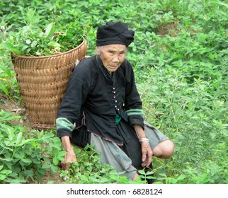 A very old Vietnamese woman in the Northern Mountains collecting vegetables for her family